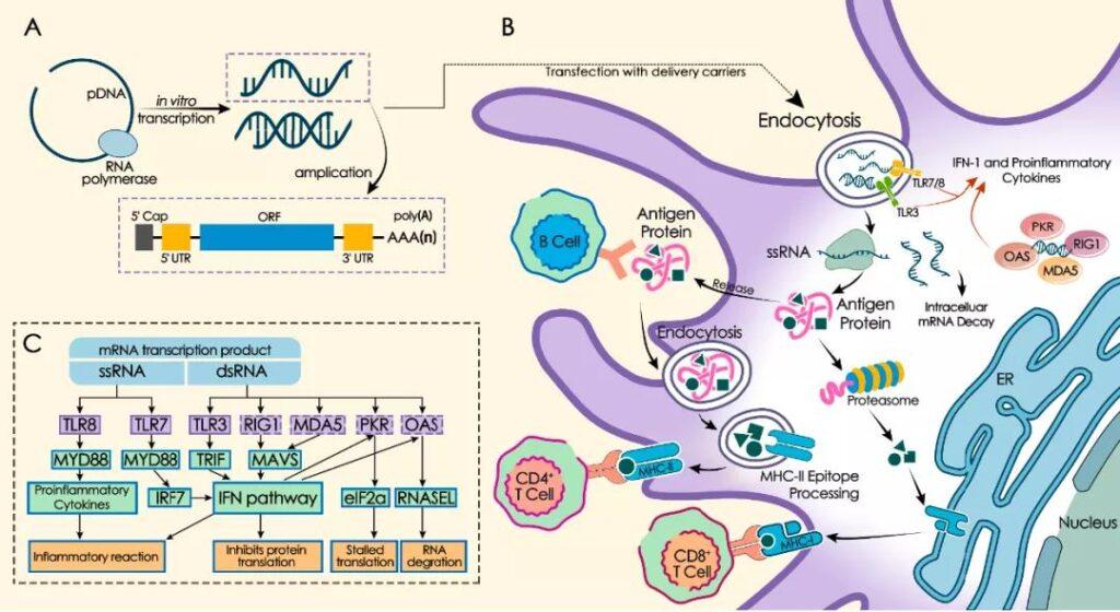 mRNA vaccine: Mechanism Drug platform and Clinical prospects