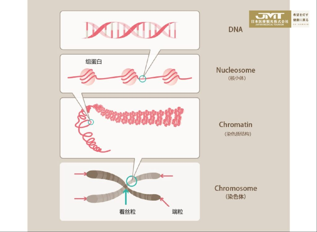 Japan stem cells study: the relationship between telomeres and stem cells
