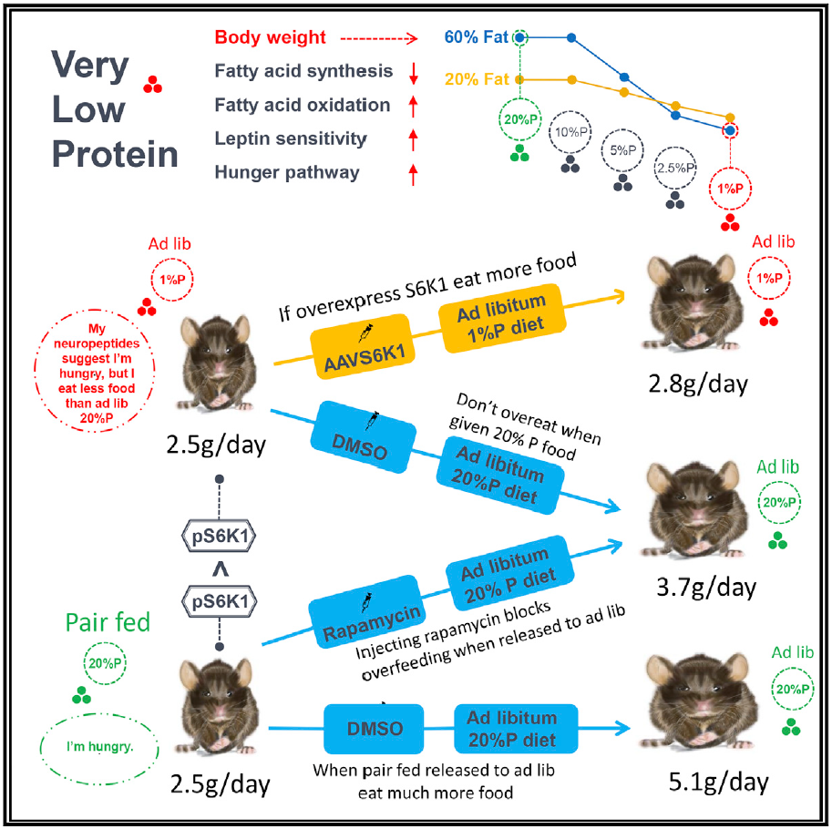 mTOR signaling pathway: Low-protein diet can reduce body weight and body fat