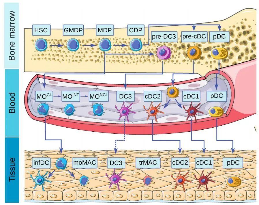 Tolerant dendritic cells treat autoimmune and inflammatory diseases