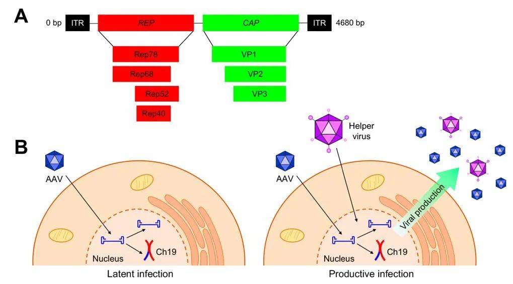 Progress and Future of adeno-associated virus in gene therapy. AAV can not only infect actively dividing cells, but also quiescent cells.        Preface   Gene therapy is currently one of the hottest treatment fields, because it targets the underlying cause of the disease rather than just the symptoms.
