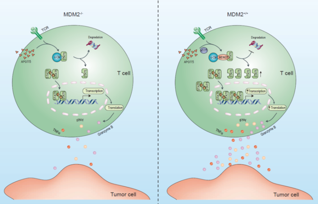 A new mechanism for T cells to regulate tumor immunity