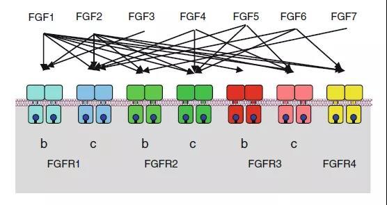 2nd Part: Growth factors and receptor tyrosine kinases (RTKs)