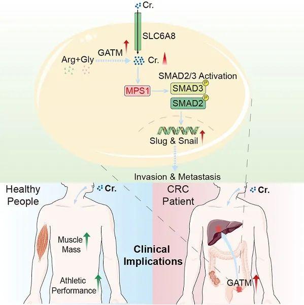 Cell: Dietary supplement creatine promotes tumor metastasis