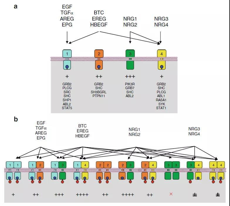 Growth factors and receptor tyrosine kinases (RTKs)