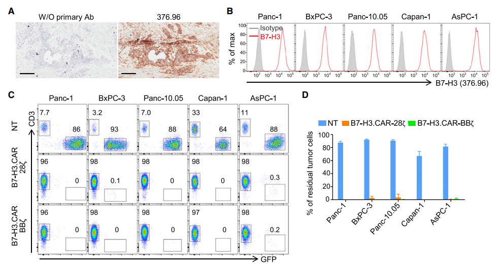 Since B7-H3 is widely expressed in a variety of solid tumors, we studied the anti-tumor effects of B7-H3.CAR-Ts in ovarian cancer (OC) and neuroblastoma (NB) models. Analyzed the expression of B7-H3 in 18 frozen section OC specimens installed in the tumor microarray (TMA), and used 376.96 mAb to stain 90% of the positive stains on tumor cells and stroma (Figure 5A and S3A– S3D). Three human OC cell lines expressing B7-H3 (SW626, SK-OV-3 and CaoV-3) (Figure 5B) were co-cultured with NT, B7-H3.CAR-28z-Ts or B7-H3.CAR- The ratio of BBz-Ts in T cells to tumor cells is 1-5. As shown in Figure 5C-5E, B7-H3.CAR-28z-Ts and B7-H3.CAR-BBz-Ts both effectively controlled the growth of OC. Culture the cell line and released cytokines in the supernatant. For in vivo verification, SK-OV-3 tumor cell line transduced with FFluc was intraperitoneally (i.p.) inoculated into NSG mice to generate i.p.p.1 OC model. Two weeks after tumor injection, mice received intraperitoneal injection of CD19.CAR-Ts, B7-H3.CAR-28z-Ts or B7-H3.CAR-BBz-Ts. Because this type of CAR-T delivery is currently being considered in clinical trials (NCT02498912). As shown in Figure 5F-5H, B7-H3.CAR-Ts significantly controlled tumor growth and prolonged overall survival. When T cells were injected intravenously, the anti-tumor activity of B7-H3.CAR-Ts was also observed (Figure S3E–S3G), although i.p. vaccination was more effective.