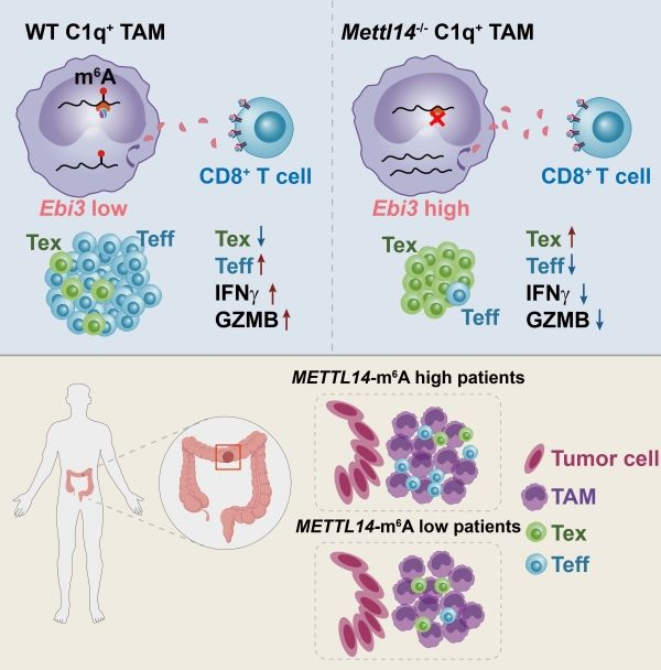 New mechanism of Tumor-associated macrophages regulate CD8+ T cells.