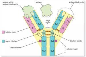 The development history of bispecific antibodies!