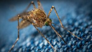 1 billion gene-edited mosquitoes take off in United States