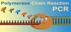 """What is the role of """"enzymes"""" for Polymerase chain reaction (PCR)?"""