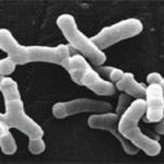 The mechanism of  Bifidobacterium longum to prevent intestinal diseases