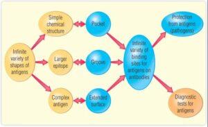 Immunology-Chapter 5: Antibody-Antigen Interaction