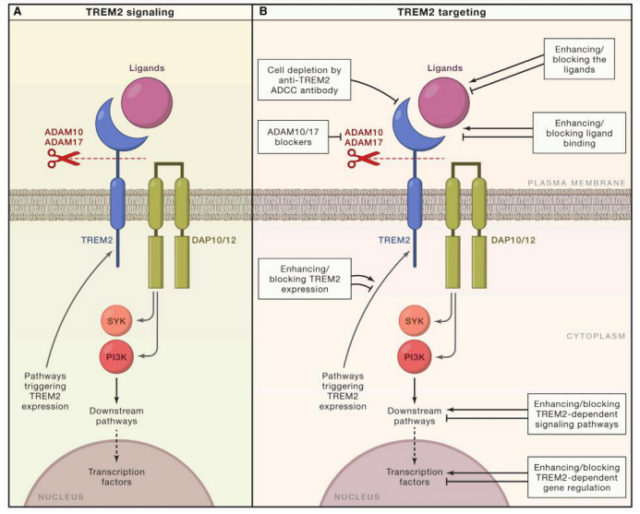 Biogen Aducanumab: Will targeting TREM2 be a new hope for AD?
