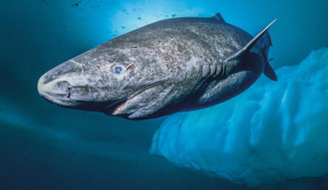 Why can Greenland Shark live almost 400 years?