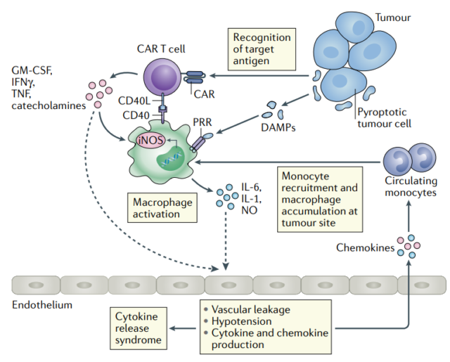 Cytokine release syndrome and related neurotoxicity in CAR-T therapy