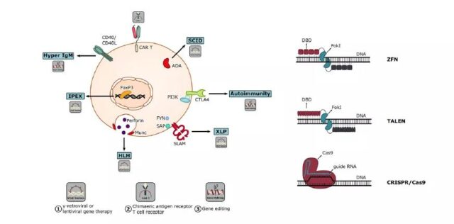 How T cell gene therapy treats immunodeficiency?