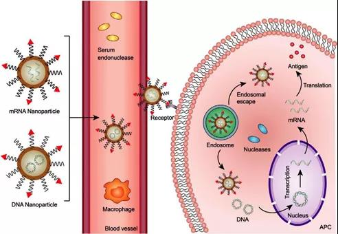 Next-generation vaccines: Nanoparticle-mediated delivery of DNA and mRNA
