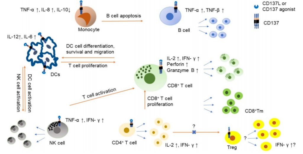 Target of tumor immunity: CD137 Double Antibodies and Combo Strategy