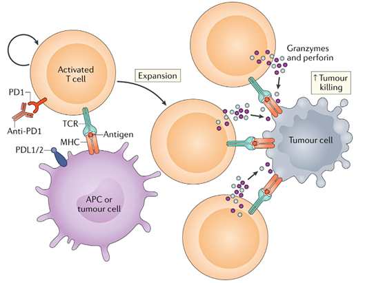 Cancer immunotherapy: Adoptive T cell (ATC) transfer therapy