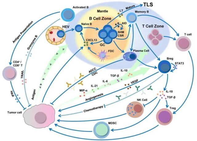 What is the key role of tumor-infiltrating B lymphocytes in immunotherapy?