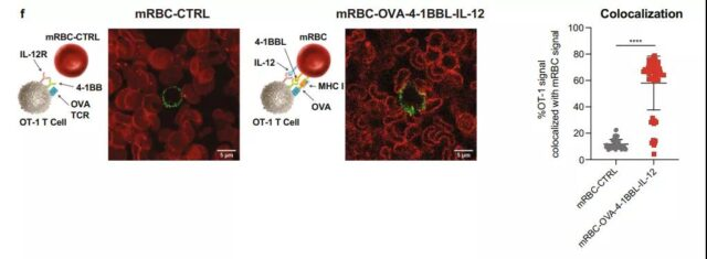 Genetic engineering to transform red blood cells to develop anti-cancer therapy