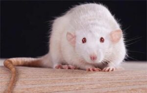 Why does the successful pregnancy of male rats become so controversial?