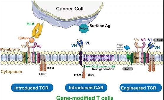 Therapy Comparison: Chimeric Antigen Receptor and T-Cell Receptor