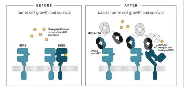 Breast cancer antibody treatment: Monoclonal antibodies | double antibodies | ADC