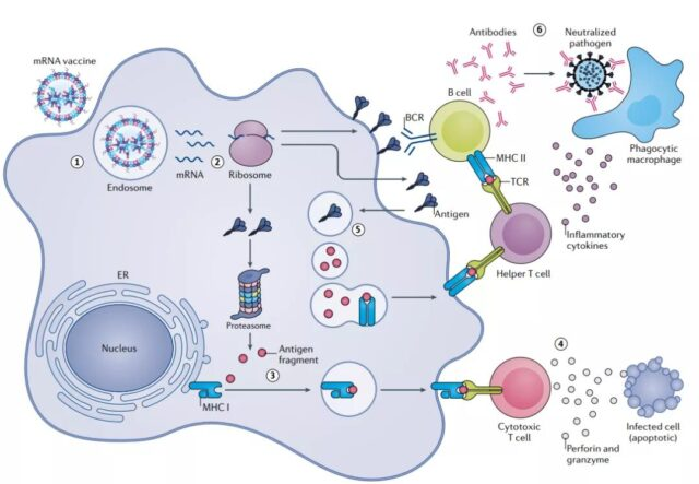Research progress of mRNA vaccines in infectious diseases
