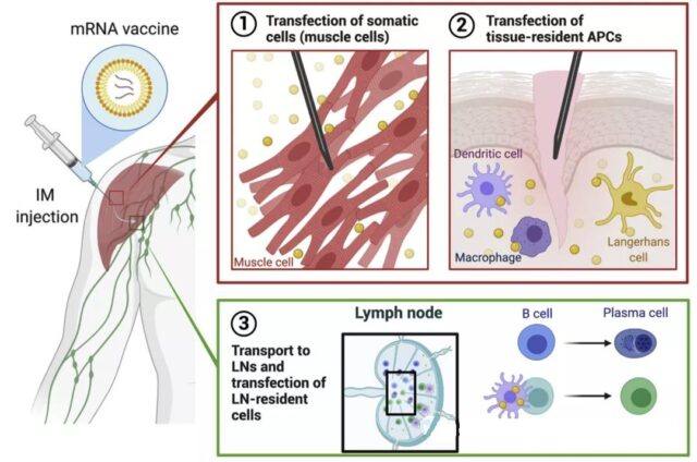 How mRNA vaccines Transfect cells and Express antigens?