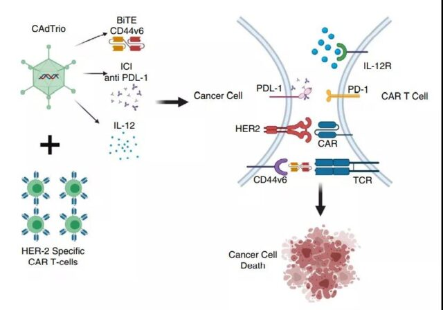 Why can Oncolytic virus (OV) boost the tumor immunity?