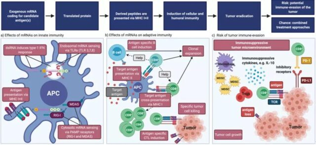 Overview of the development of mRNA vaccines: Part Three