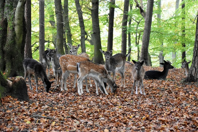 Deer herds in U.S. are heavily infected with the new coronavirus (COVID-19)