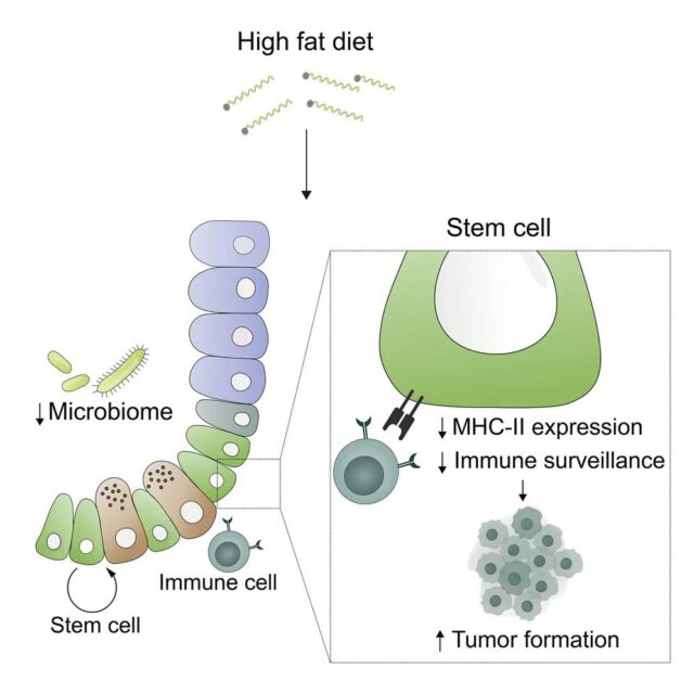 Why does the high-fat diet promote colorectal cancer?