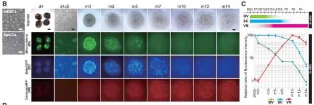 Japanese scholars use pluripotent stem cells to produce sperm.