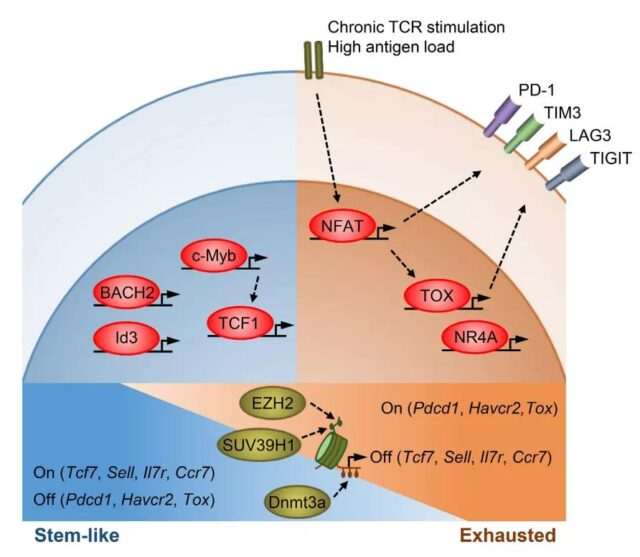 The molecular perspective of T cell stemness and exhaustion.