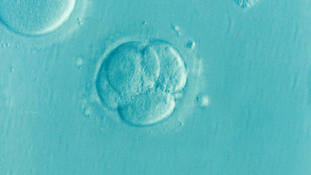Why do women lack the corpus luteum when doing IVF?