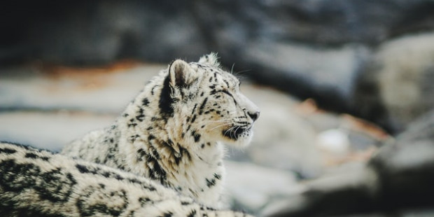 A snow leopard in a South Dakota zoo died Probably due to COVID-19